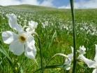 Giunchiglia-Narciso-selvatico