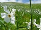 Giunchiglia o Narciso selvatico, Narcissus poeticus