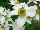 Anemone narciso